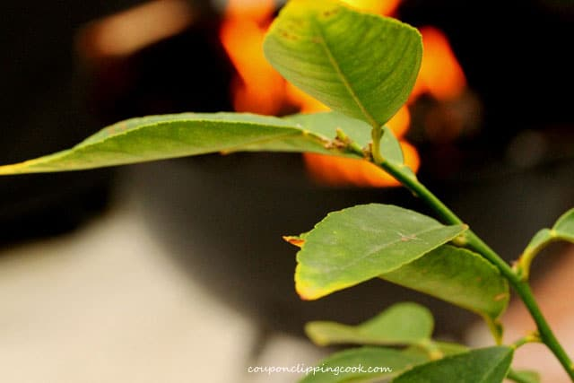 Lime tree leaves on branch