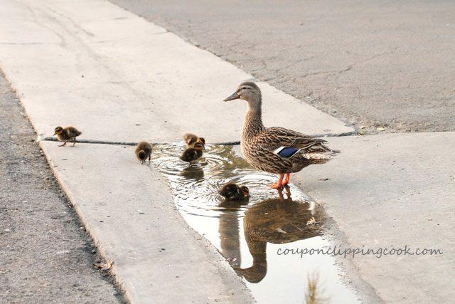 Mama duck with baby ducks