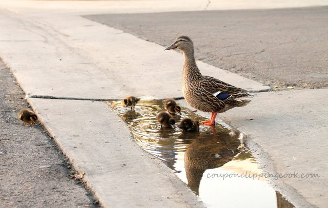 Mama duck with baby ducks in water