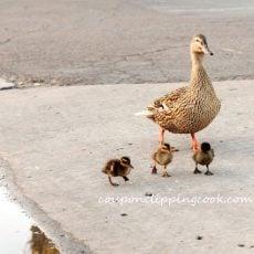 Ducklings and Duck Walking