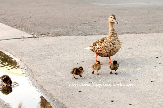 Ducklings and Duck Walking on street