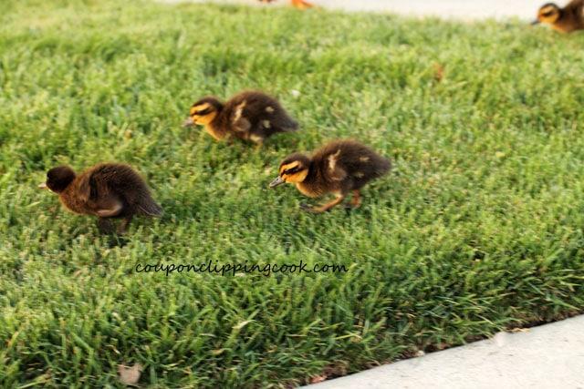 Baby ducks running on grass