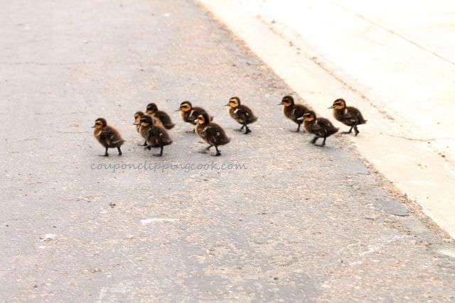 Baby duck crossing the street
