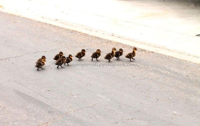 Baby ducks crossing the street