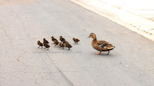Mama Duck with Baby Ducks on street