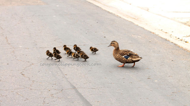 Mama and baby ducks crossing the street