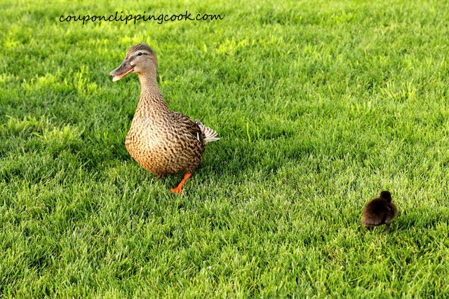 Mama duck with baby duck on grass