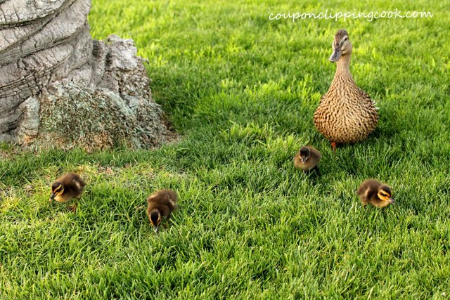 Mama duck with baby ducks on grass