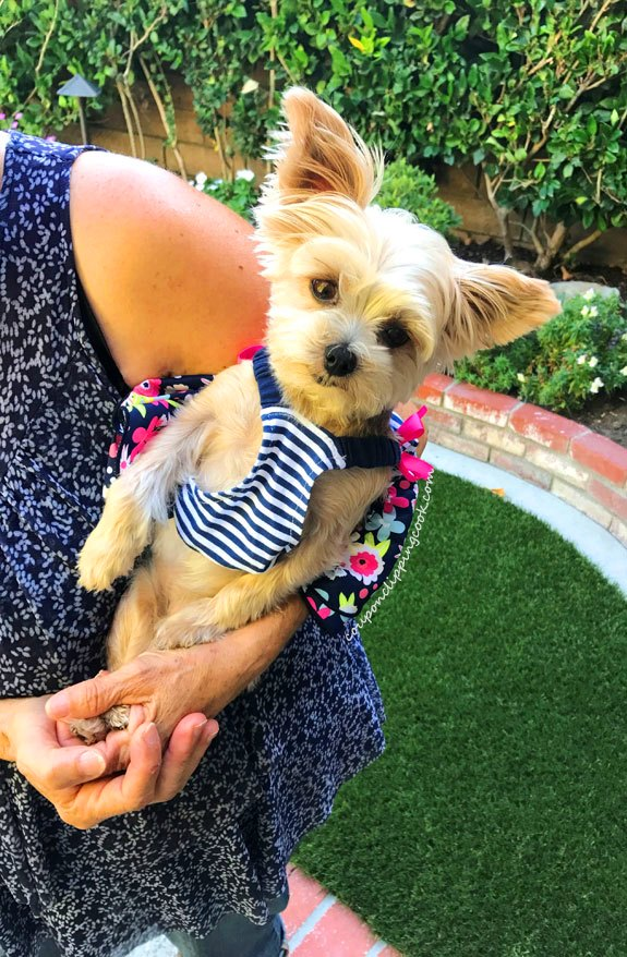 Owner holding Yorkshire Terrier